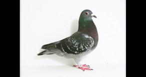PRF-2011-1055 Van Wanroy DC Hen