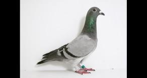 PRF-2011-1057 Deweerdt BB Cock