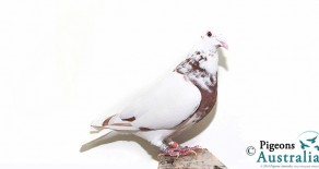PRF-2011-1048 Chocolate Meuleman Hen