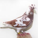 PRF 2012 14237 Chocolate meuleman Hen