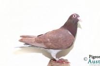 PRF 2011 597 – Chocolate Meuleman Hen