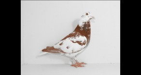 PRF-2011-1023 Meuleman Chocolate Cock